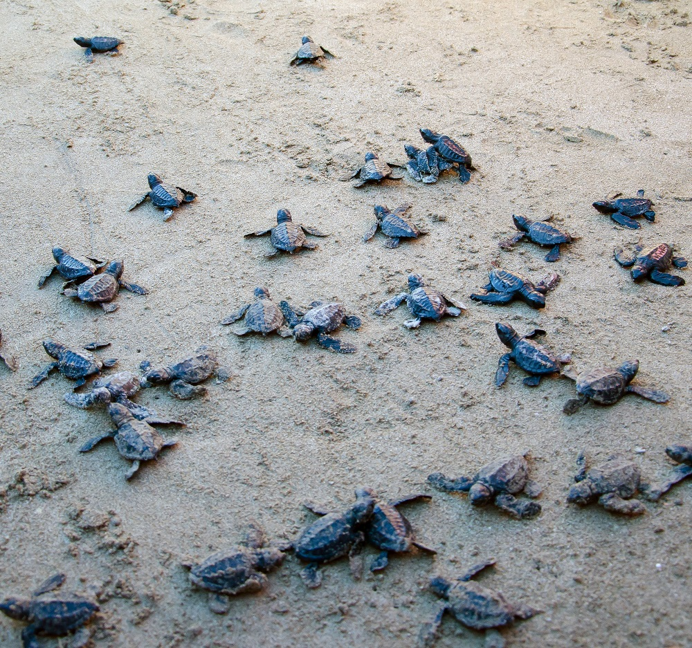 "<h1>Sea Turtles Hatch at Hamilo Coast</h1> <p>Exactly 46 Olive Ridley hatchlings emerged from</p> <p style=""text-align: right;""><a href=""https://wwf.org.ph/resource-center/story-archives/sea-turtles-find-a-haven-hamilo-coast/"">Read More ></a></p>"