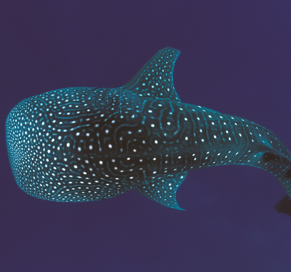 "<h1>WWF Statement on Oslob Whale Shark Interactions</h1> <p>Oslob in the Philippine province of Cebu is among the Philippines'</p> <p style=""text-align: right;""><a href=""https://wwf.org.ph/resource-center/story-archives/statement-oslob-whale-shark-interarctions/"">Read More ></a></p>"