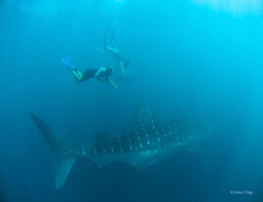 Whale Shark Population Increase 2 - Klaus Topp